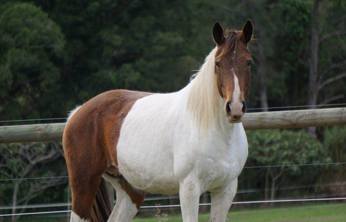 Австралийские лошади