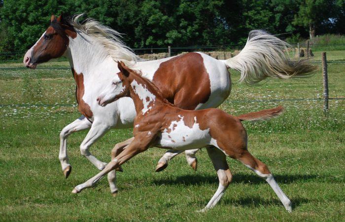 Американские лошади
