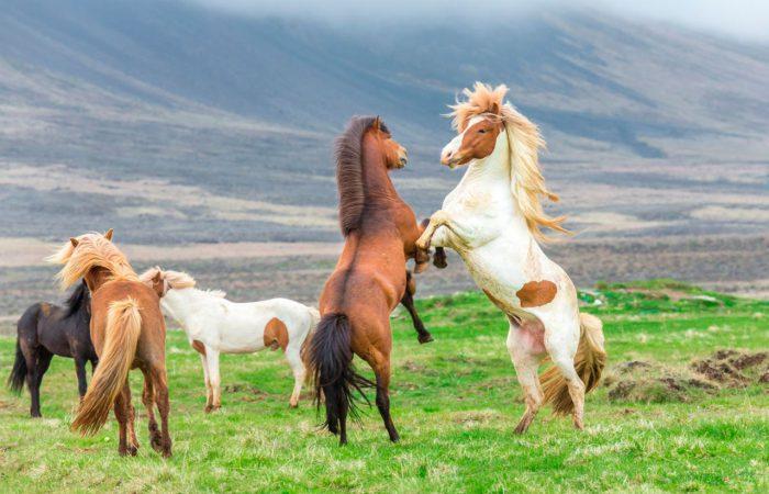 лошадь защищается