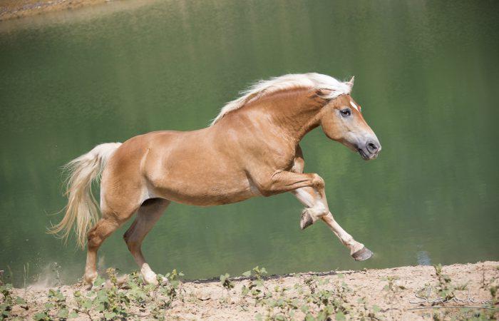 Итальянские лошади