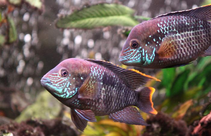 Акара красногрудая аквариумная