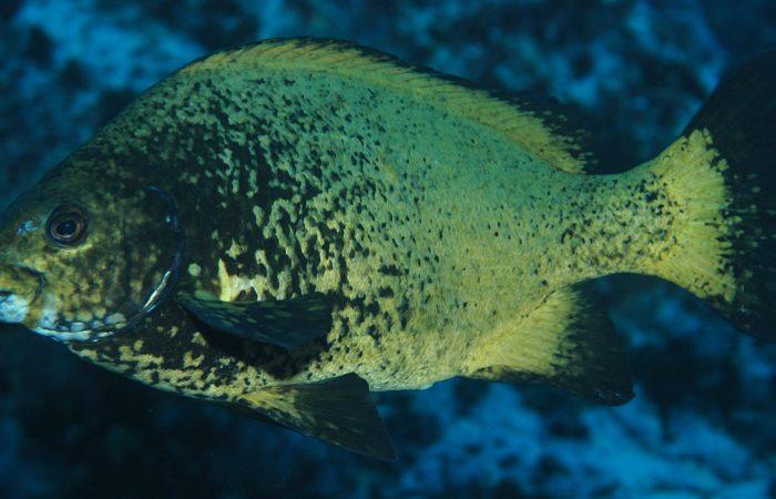 Окунеобразные рыбы