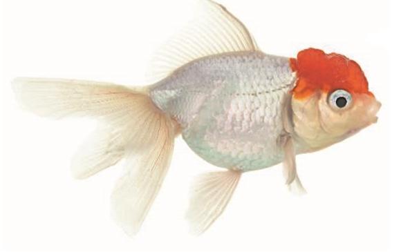 красная шапочка рыбка