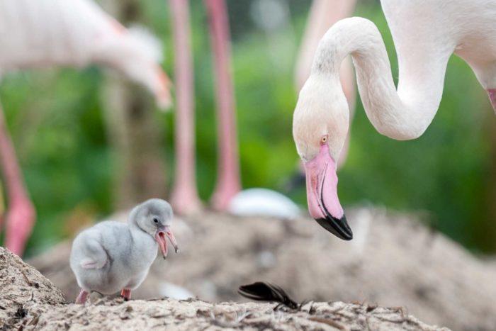 фламинго и птенцы