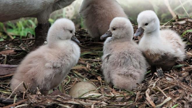 Птенцы лебедей