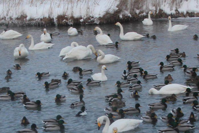 Скопление малых лебедей на водоеме