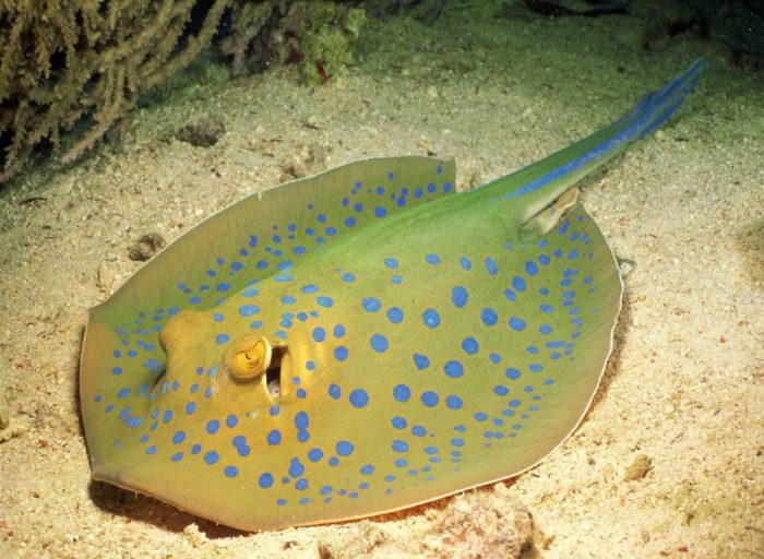 Электрический морской скат