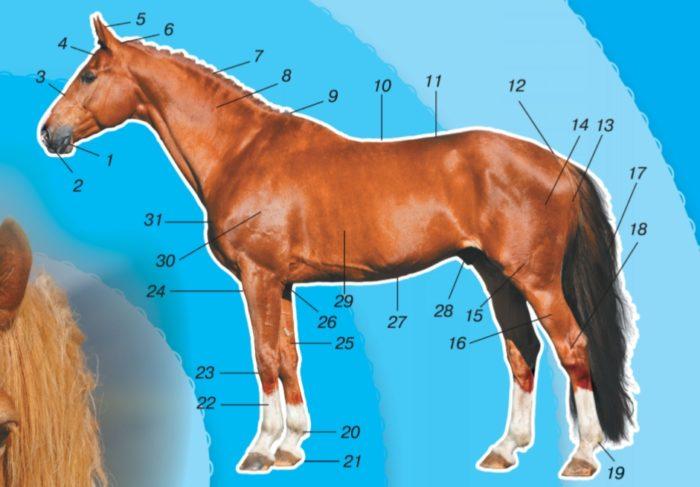 Название некоторых основных статей лошади