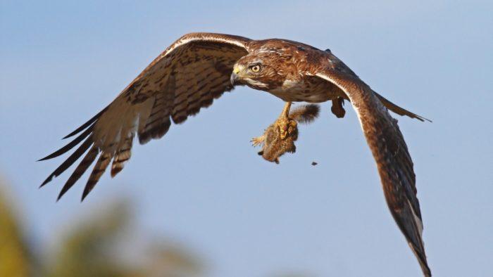 Степной орел с добычей