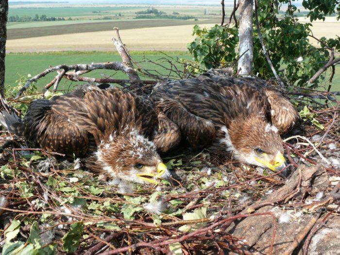 Гнездо орла-могильника