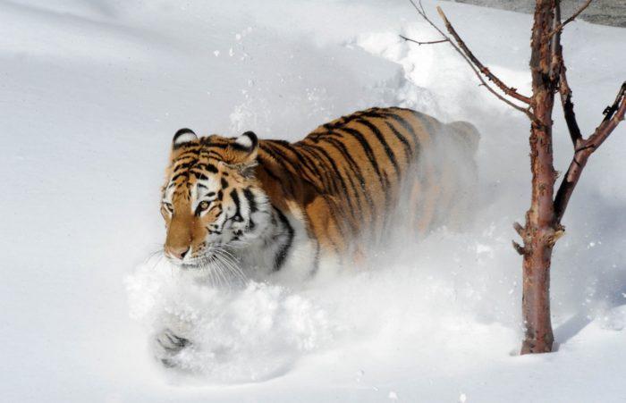 Амурский тигр на снегу