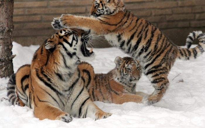амурский тигр играется