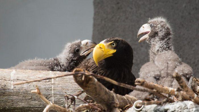 Орлан белоплечий с птенцами