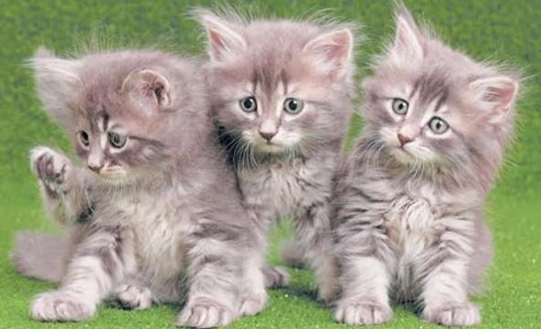 месячные котята