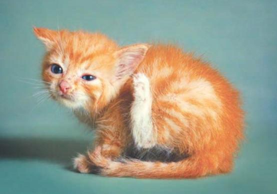 котенок с отодектозом