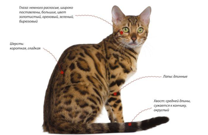 Внешние признаки бенгальской кошки