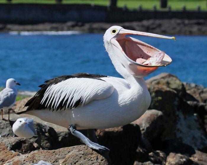 Пеликан австралийский