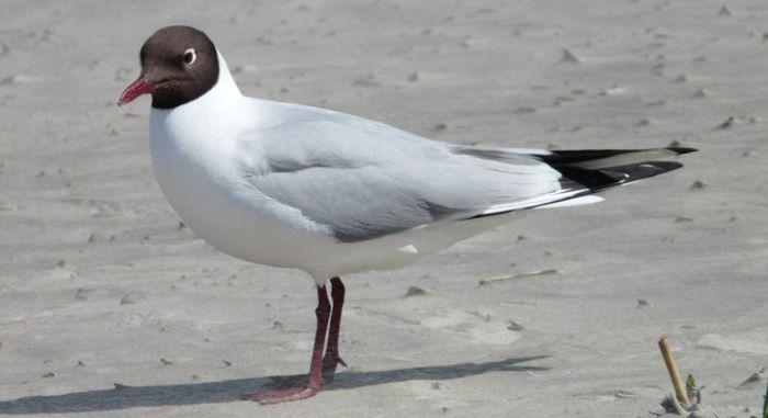 Чайка реликтовая