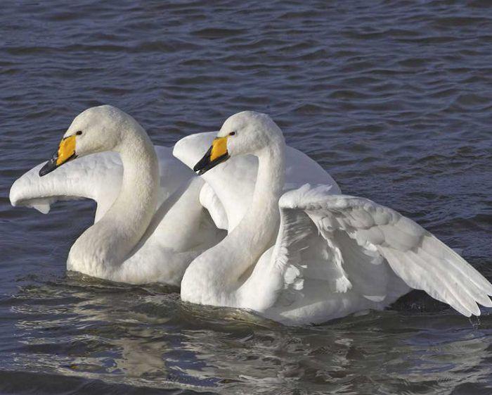 Лебедь американский