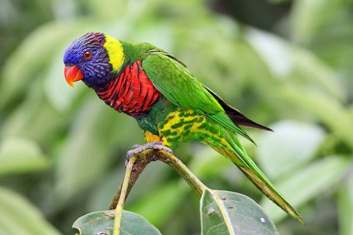 Лорикет многоцветный