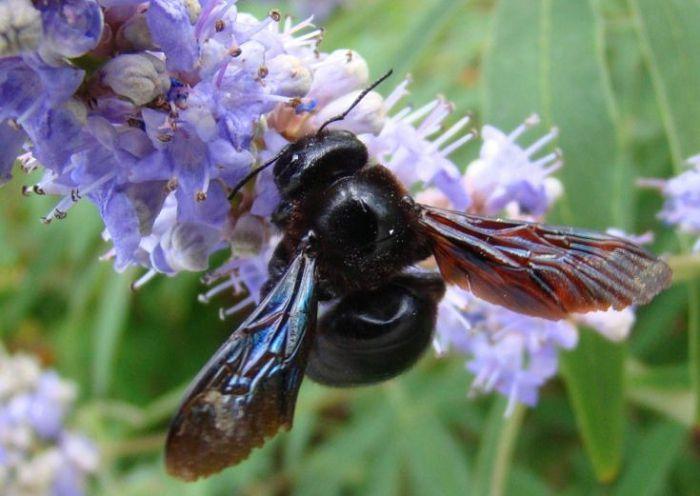 Пчела-плотник