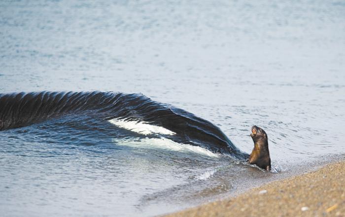 Косатка нападает на тюленя