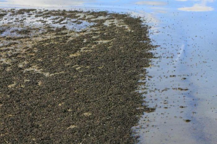 Нефтяная муха-береговушка