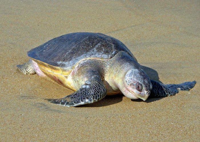 оливковая черепаха