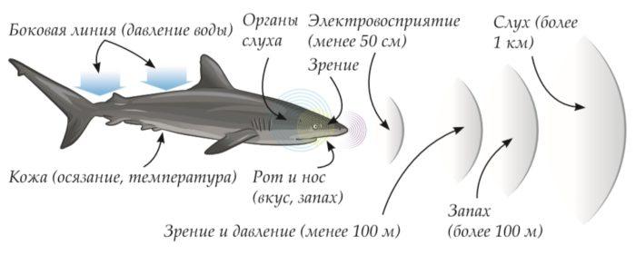 Органы чувств акулы