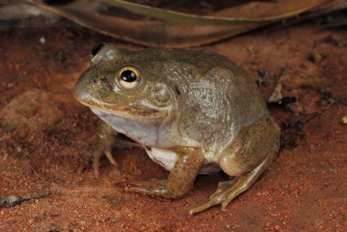 плоскоголовая лягушка