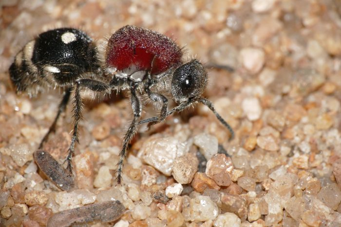 Бархатный муравей