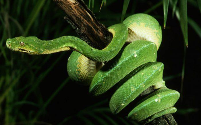 Зелёный древесный питон
