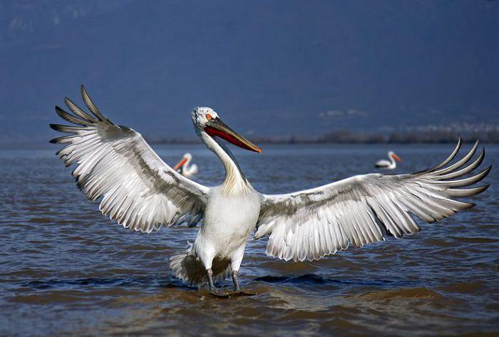 Пеликан кудрявый