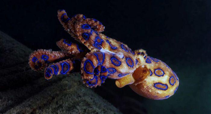 Синекольчатый (голубокольчатый) осьминог
