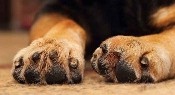 уход за лапами собак
