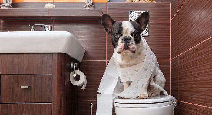 Приучение собаки к туалету
