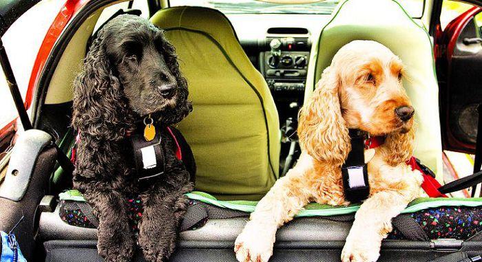 Приручение собаки к машине