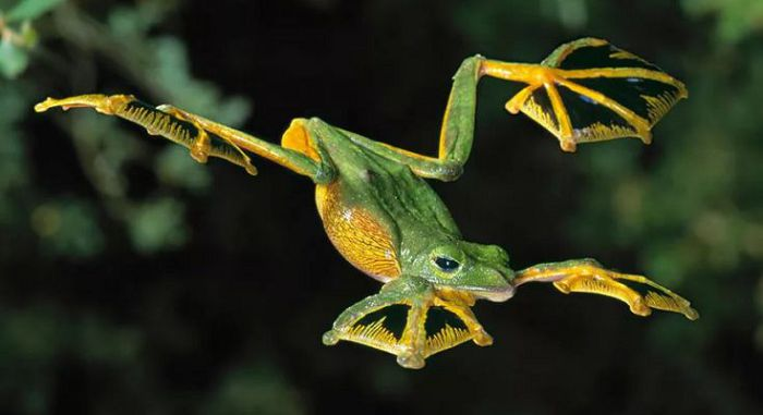 Летающая лягушка
