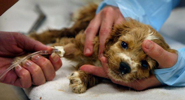 Иммуноопосредованные заболевания у собаки