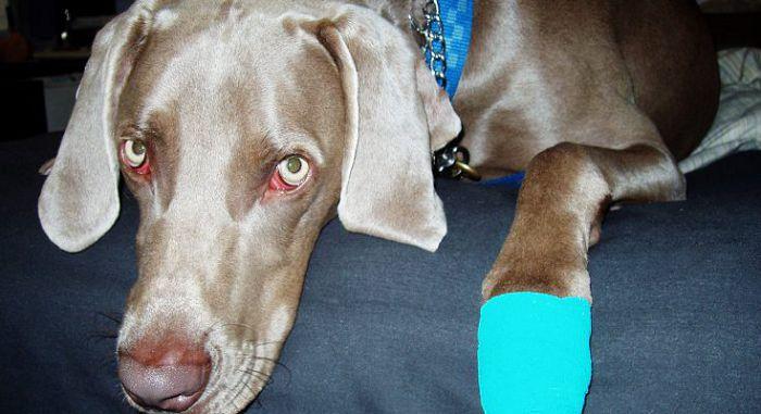 Раны у собаки