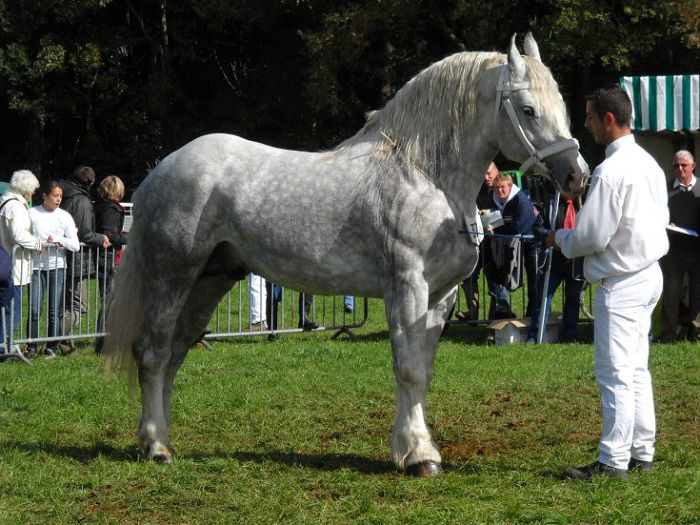 Булонская лошадь