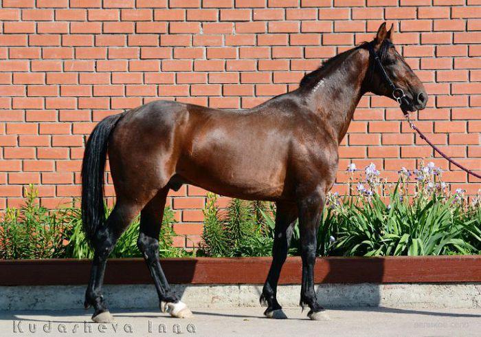 Американская рысистая лошадь