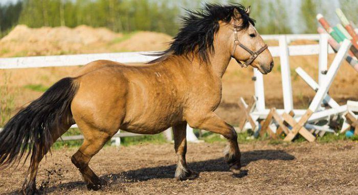 Белорусская лошадь