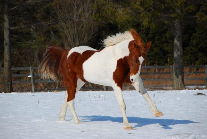 Лошадь пинто