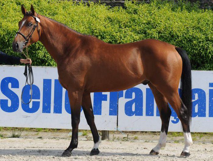 Великопольская лошадь