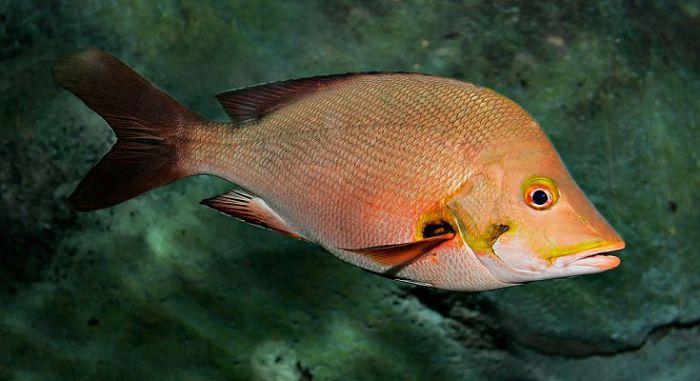 Луцианы (рыбы)