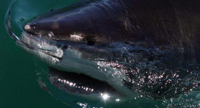 Звёздчатошипая акула