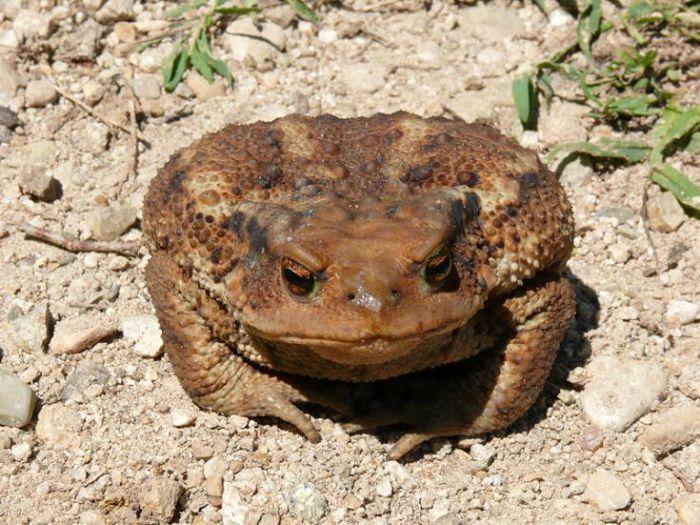 Жаба кавказская