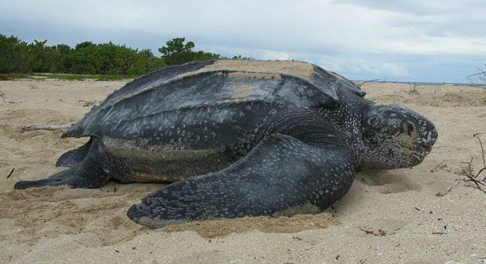 Каролинская кожистая черепаха