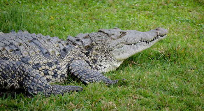 Крокодил острорылый